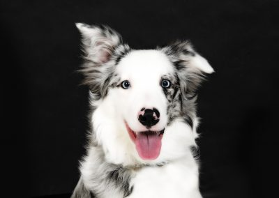 collie-portrait