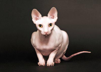 siammese-cat-portrait-photography